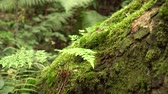 houtrot : Moss-covered slanted tree trunk with fern in a wild damp untouched forest. The magic and beauty of ancient nature Stockvideo