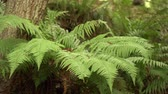 paproć : Fern branches in the wild forest close-up Wideo