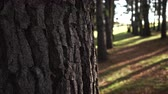 tronco de árvore : Rows of large trees in an old park. A view from behind the trunk. Outdoor activities Stock Footage
