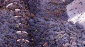 enology : churning wine grapes Stock Footage