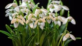przebiśniegi : Snowdrops blooming blossom time lapse. Closeup opening flowers