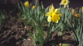krizantem : Narcissus is a genus of predominantly spring perennial plants of the Amaryllidaceae amaryllis family