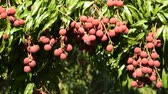 soft fruits : lychee tropical fruit on branch flowing from wind blow in farm