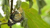 ormanda yaşayan : butterfly metamorphosis from cocoon and prepare to flying on branch in garden