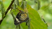 koza : butterfly metamorphosis from cocoon and prepare to flying on branch in garden