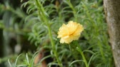 hera : rain falling on yellow rose moss blooming in garden Vídeos