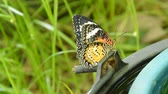 koza : butterfly metamorphosis from cocoon and climbing on black plastic bin prepare to flying in garden Stok Video