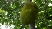 calyx : jack fruit growing hanging from branch on tree in farm Stock Footage