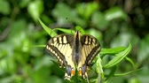 entomologia : Old World Swallowtail butterfly - Papilio machaon