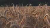 Cereal field with barley before harvest with sunset video 4K UHD