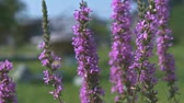 Purple Colored Flowers Spiked Loosestrife with Bee Close Up Wideo