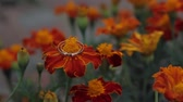 wedding ring : rings on flower marigold Tagetes Stock Footage