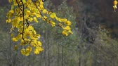 urlop : tree branch with yellow and orange foliage in autumn forest on sunny day Wideo