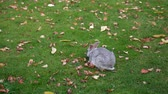 králíček : Gray rabbit on green grass with autumn leaves.