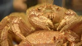 sapporo : Living Japanese Giant crab in the water in restaurant prepared for food