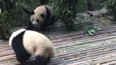 raro : Panda Bear eating bamboo and play around  at  Chengdu National Park in sichuan,China