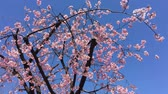 cherry blossom branch : Sakura (Cherry Blossom)  blooming with blue sky in spring around Ueno Park in Tokyo , Japan