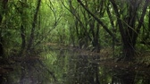 wetland : A panning view of a marshy forest river with a lingering light fog.