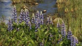 lupine : summer lupine flowers and flowing brook