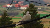 turtledove : Turtledove Standing On A Wire Stock Footage