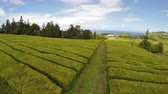 san miguel : Aerial Footage Tea plantation at Cha Gorreana, Maia, San Miguel, Azores, Portugal Stock Footage