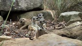 adapted : group of meerkats Stock Footage