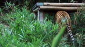zootiere : Tiger im Zoo Stock Footage
