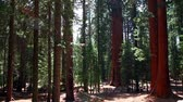 sequoia forest, time lapse Stock Footage