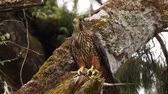 defensiva : New Zealand Falcon, Falco novaeseelandiae, defending nesting area; West Coast, South Island, New Zealand