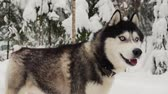 husky : Close-up of a dogs face - a Siberian husky with blue eyes looking directly into the camera. Stock Footage
