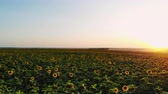 yellow : Aerial photography with a drone on the field with sunflowers at sunset