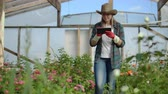 krizantem : A florist with a tablet computer walks in a greenhouse and audits and checks flowers for small business accounting, touch and watch plants. Stok Video