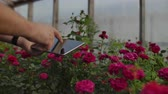 collega : Close-up hands gardener florist. modern rose farmers walk through the greenhouse with a plantation of flowers, touch the buds and touch the screen of the tablet