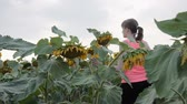 girassol : Girl in a field of yellow sunflowers walks in slow motion. Green leaves and stems of sunflower in the shot in front of the girl. Harvest.