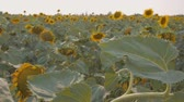 girassol : Close-up of flowers and leaves of the sunflower with the moving camera. The rays of the sun shine from behind the sunflower. The field of yellow sunflowers in the background. Slow motion.