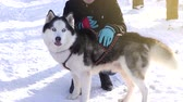 alaskan : Siberian husky dog on a sunny winter day looks at the camera Stock Footage