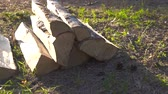 ladrão : chipped birch logs in the forest at sunset Stock Footage