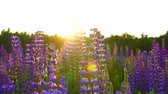 lupine : nobody,the view of blooming lupines at sunset steadyshot