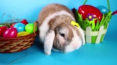 орнамент : Easter rabbit pet lop bunny on blue screen.