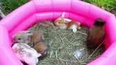 lop : Baby rabbits mini lop kit playing. 16 day old rabbit kits.