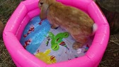 króliczek : Bunny rabbit drinking water on swimming pool Wideo