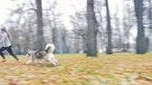 husky : Image of young girl playing with her dog, alaskan malamute