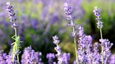 shrink : Green Grasshopper on lavender Stock Footage