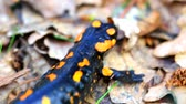 fire salamander : Fire salamander in the forest closeup Stock Footage