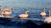 Beautiful swans and seagulls swim in the sea