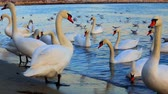 лебедь : Beautiful swans and seagulls in the blue sea Стоковые видеозаписи
