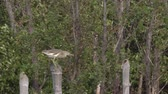 бдительность : Bird tries to keep balance in gust of wind while perching on bamboo stump, Struggle concept Стоковые видеозаписи