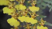 орхидея : Orchid flower in orchid garden at winter or spring day for beauty and agriculture concept design.  Oncidium goldiana Orchid.