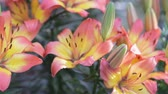 Лилли : Lily flower and green leaf background in garden at sunny summer or spring day for beauty decoration and agriculture design. Lily Lilium hybrids.