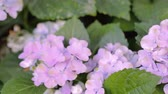 lilás : Purple Hydrangea flower and green leaf background in garden at sunny summer or spring day for beauty decoration and agriculture design. Vídeos